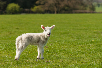isolated lamb on green meadow