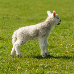 bleating newborn lamb