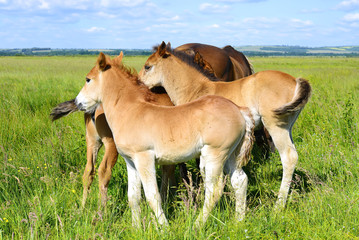 Foals on a summer mountain pasture