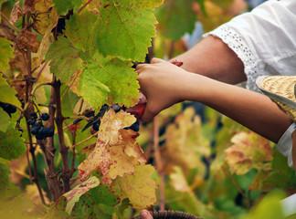 Boy harvesting the grape