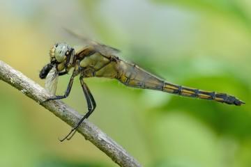 Orthetrum cancellatum, female with prey