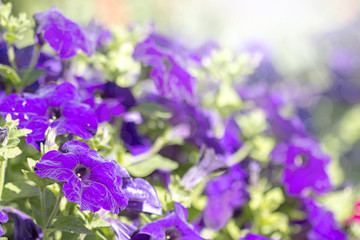 colorful blooming petunias