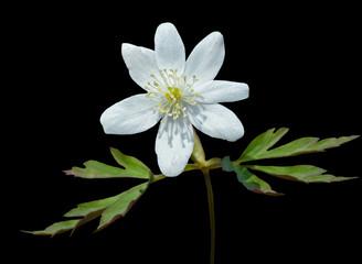 Flower of anemone 4
