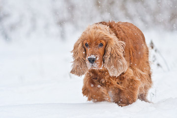 cocker spaniel dog in the snow