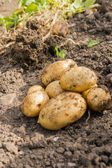New Potatoes - Variety Home Guard