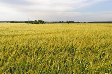 Yellow field of rye at sunset