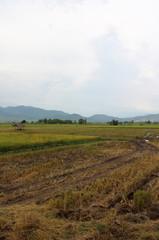 Rice field in Northern Thailand.