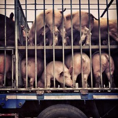lots of pigs on the truck