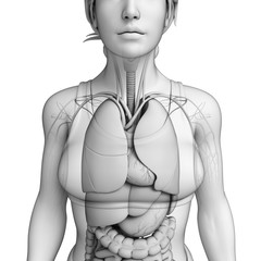 Female body respiratory system