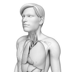Male body respiratory system