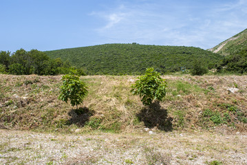 Two Fig Trees
