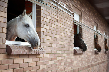 Horses looking from the windows of a stable