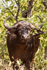 Healthy looking buffalo standing in the shade