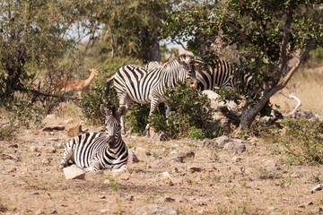 A small herd of zebra resting on an open piece of land