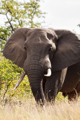 A large lone elephant bull moves through the bush