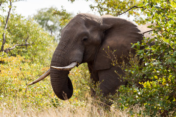 A large lone elephant bull feeds on the surrounding plants