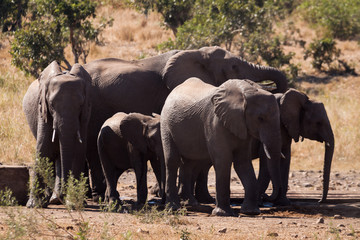 A small herd of elephants drinking at a man made waterhole