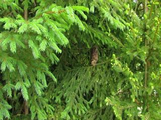 Young boreal owl (Aegolius funereus)