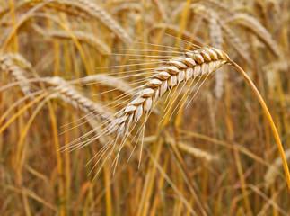 Erntereife Getreideähren