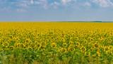 Fototapeta Sunflowers, Ukraine, Dnipropetrovsk region, 22.07.2014.