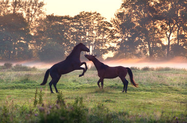 two playing horses on misty pasture