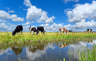 cows on pasture by river over blue sky
