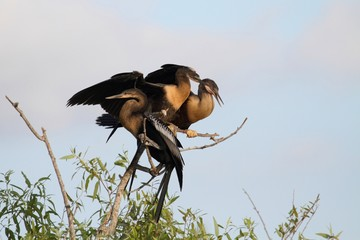 Anhingas On A Perch