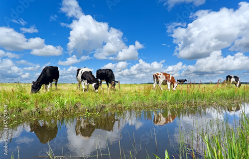 Fotobehang Koe cows on pasture by river over blue sky