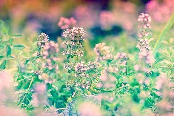 Flower of thyme in my garden