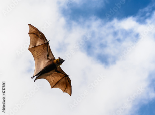 Deurstickers Overige Flying fox on blue sky