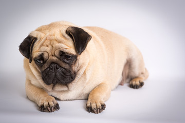 Funny Pug/Funny Pug at white background