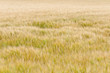 Weichheit - Ein Kornfeld an einem warmen weichen Sommertag