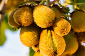 Bunch of kiwi fruits on plant at sunset closeup