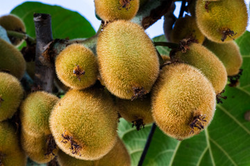Bunch of sweet kiwi on plant closeup