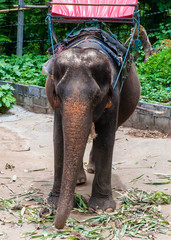 Elephant waiting to start the tours with tourists in Thailand