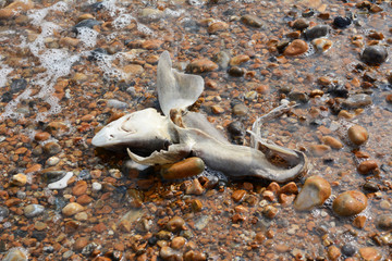 Dead smooth-hound shark washed ashore