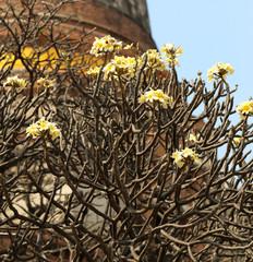 bright beautiful flowers plumeria on tree