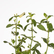 motley sprigs of fresh mint