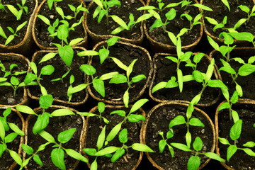 Seedlings of tomato