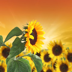 sunflowers on a background sunset