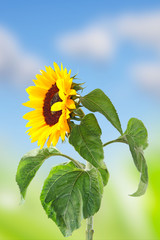 a single sunflower of a blue sky with clouds