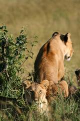 León en la sabana