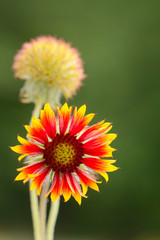 Gaillardia wild flower with blurred field background