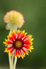 Gaillardia wild flower with blurred field background
