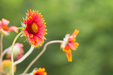 Gaillardia flowers in field