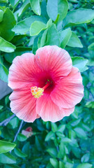 Pink hibiscus on The Tree