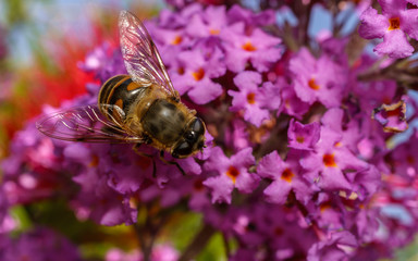 A Hoverfly feeding on a Buddleja