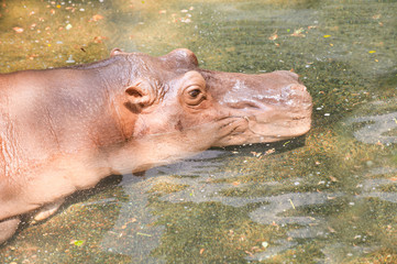 Big hippopotamus in water.
