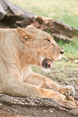 Big lioness