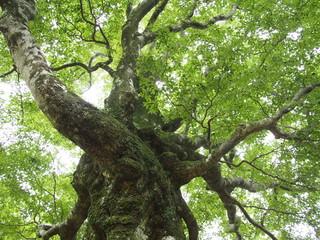 ブナの巨木を見上げる
